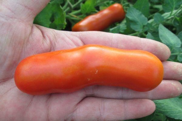 Длинный помидор