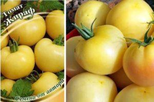 Описание высокорослого томата Жираф и агротехника выращивания сорта