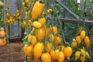 Характеристика высокорослого томата Золотая канарейка и агротехника выращивания