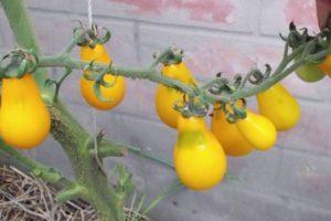 Характеристика томата Золотой дождь и агротехника культивирования