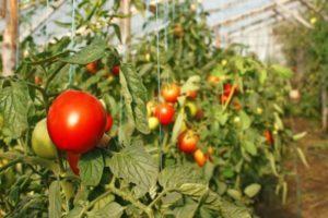 Лучшие сорта помидоров для выращивания в Витебской области