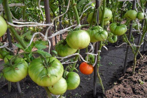 Подвязанные томаты
