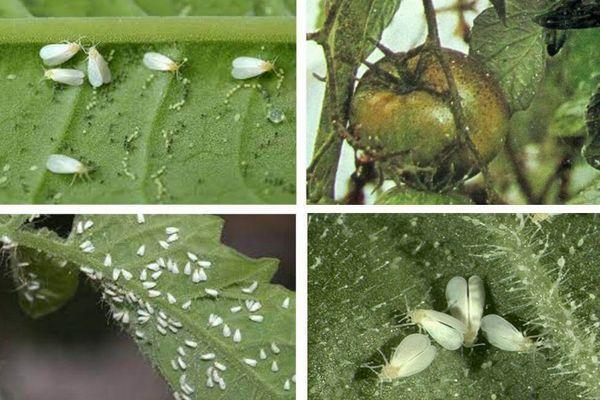 Белокрылка с личинками