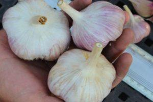 Описание чеснока Добрыня и особенности выращивания сорта