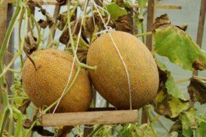 Описание сладкой дыни Карамель, выращивание рассады и борьба с вредителями гибрида