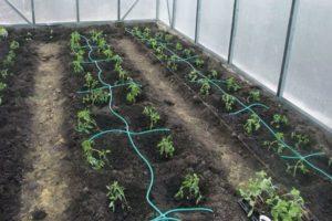 Как сделать капельный полив для помидоров в теплице своими руками