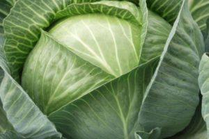 Описание гибридной капусты сорта Агрессор F1 и агротехника выращивания овоща
