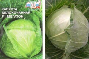 Описание белокочанной капусты Мегатон, особенности гибрида и уход за ним
