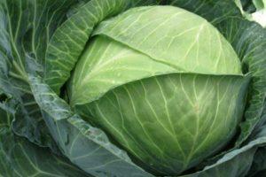 Описание сорта капусты Центурион F1 и агротехника выращивания
