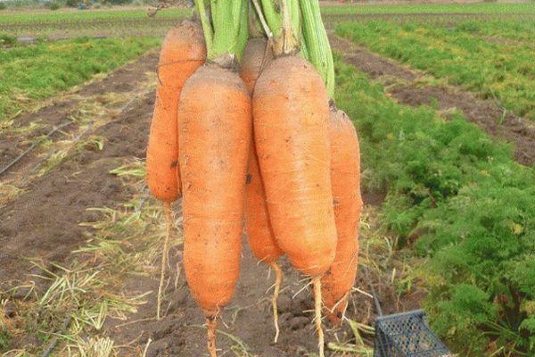 Крупная морковь
