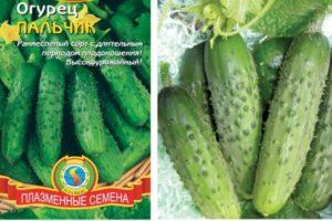 Описание раннеспелого сорта огурцов Пальчик, выращивание и защита от вредителей