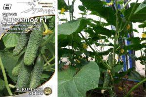 Характеристика огурца Директор и агротехника выращивания гибрида