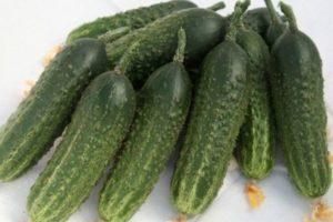Описание раннего сорта огурцов Гармонист и выращивание гибрида на личном подворье