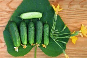 Описание сорта огурца Городской огурчик F1, как выращивать на подоконнике в домашних условиях