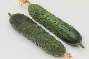 Описание сорта огурцов Гуннар и выращивание раннеспелого гибрида