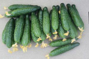 Описание огурцов цилиндрической формы Мамлюк F1 и особенности выращивания гибрида