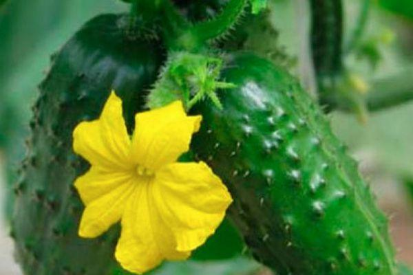 Огуречный цветок