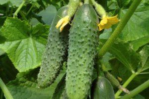 Описание огурца Щедрик и выращивание на участке своими руками