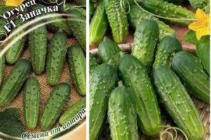 Описание огурца Заначка f1 и рекомендации по выращиванию сорта