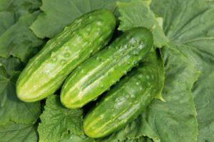 Характеристика огурцов Журавленок f1, выращивание гибрида и уход