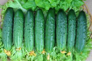 Характеристика огурцов сорта Эстафета, выращивание и урожайность