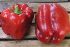 Характеристика гибридного перца Геркулес, выращивание и правила ухода