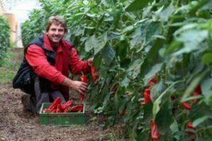 Описание сладкого болгарского перца Винни Пух и выращивание в огороде и на балконе