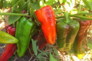 Описание болгарского перца сорта Воловье ухо и выращивание рассадным способом