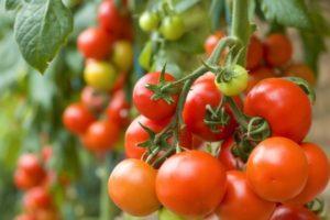 Что такое полудетерминантые сорта томатов, особенности и правила выращивания