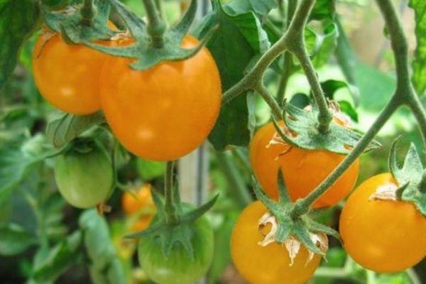 томат Золотой самородок
