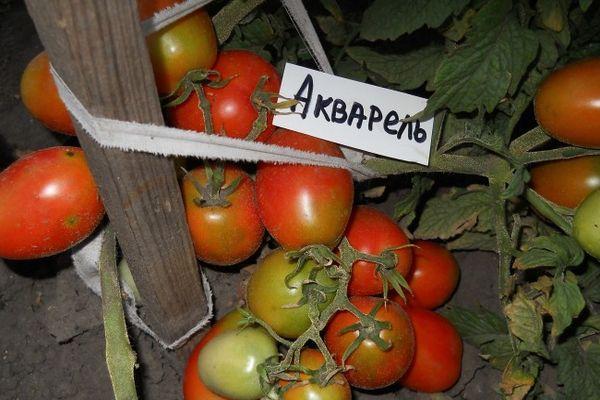 томат Акварель