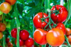 Описание лучших сортов помидоров для Забайкалья, их сроки посадки и уход