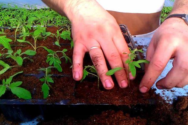 Терёхины по выращиванию томатов 81