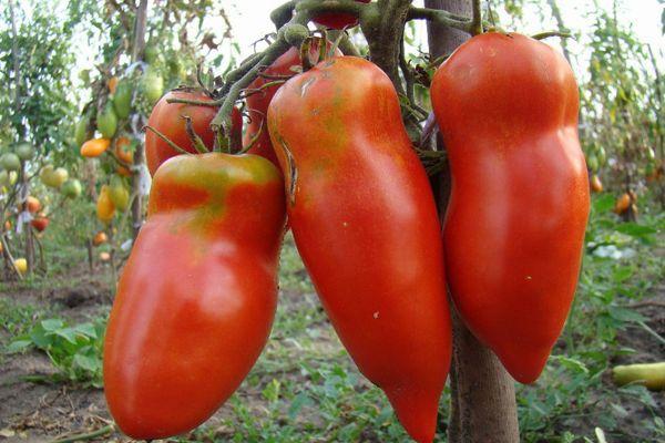 Перцевидные помидоры