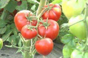 Описание голландского томата Бабушкино и выращивание сорта
