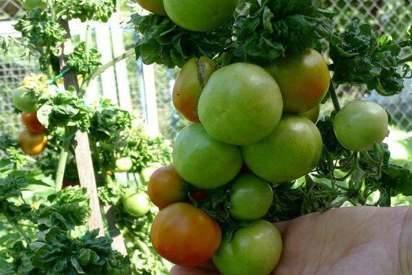 Неспелые томаты