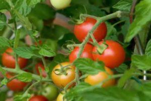 Краткое описание томата Бетта, выращивание рассады и борьба с вредителями