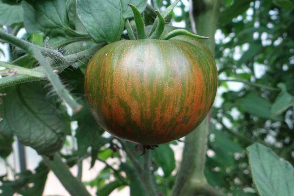 Полосатый помидор