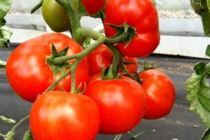 Описание гибридного сорта томата Дебют F1 и агротехнические правила выращивания