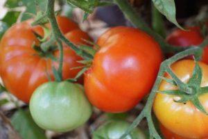 Описание томата Ермак F1 и выращивание гибрида в открытом грунте
