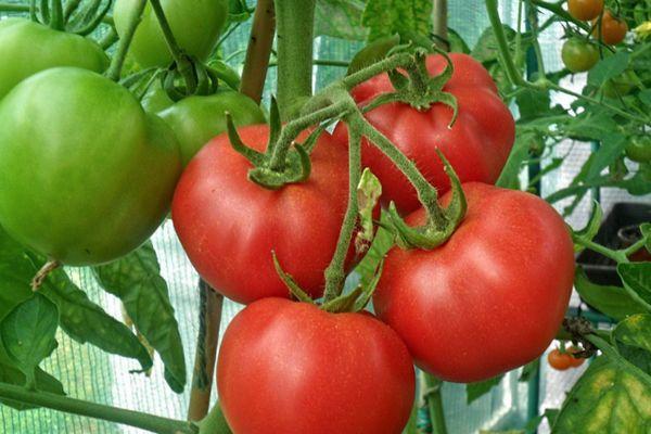 Кистевые помидоры