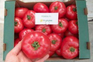 Описание гибридного томата Фенда и правила выращивания сорта