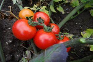 Характеристика томата Крайний север и культивирование сорта