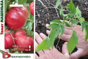 Характеристика томата Машенька и правила выращивания хорошего урожая