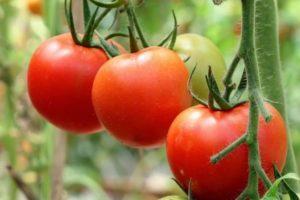 Характеристика гибридного томата Мастер f1, выращивание и дальнейший уход