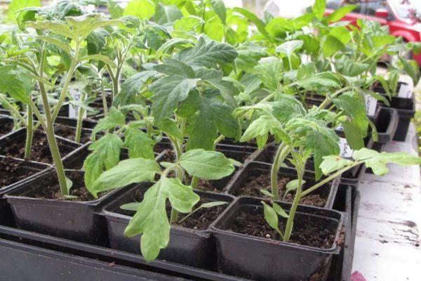 Емкости с рассадой