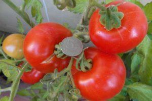 Описание раннеспелых томатов Момент и выращивание рассады самостоятельно