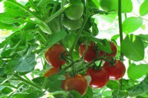 Характеристика и правила выращивания томата Московские звезды F1