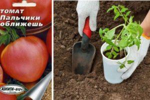 Характеристика помидоров Пальчики оближешь и выращивание сорта