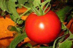 Характеристика и подробное описание томатов Самара, советы по выращиванию